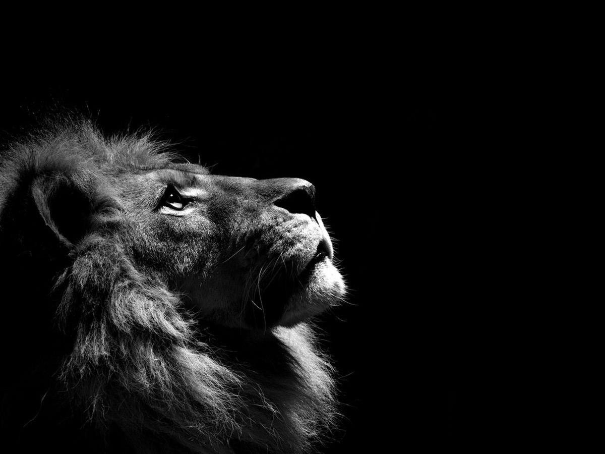 lion-black-background-free-e1382473168624